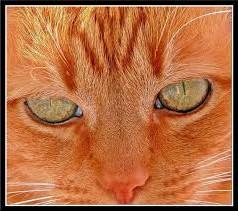 рыжий-кот-красивый