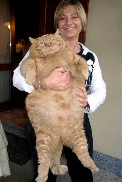 кот-рыжий-толстый