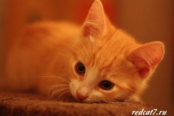 котеночек-рыжий-милый-лежит