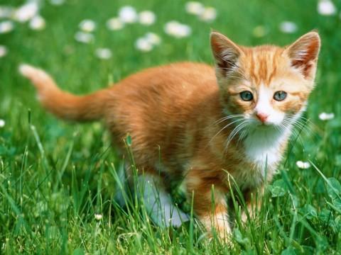 котенок-рыжий-маленький