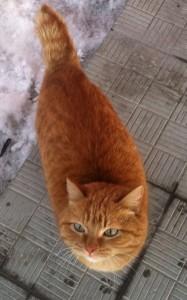 рыжий кот-бездомный-с-куцым-хвостом