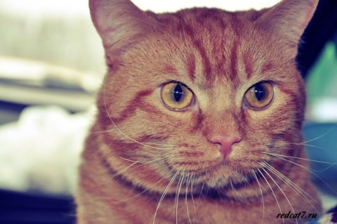 рыжий-кот-серьезный-умный
