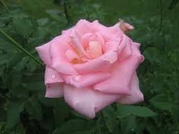нежная роза и кот