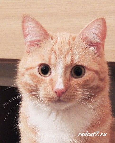 кот рыжий красивый фотография смотрит мило
