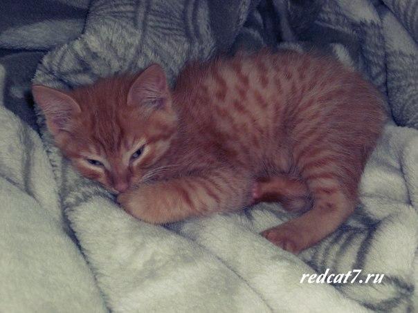 спит рыжий котик