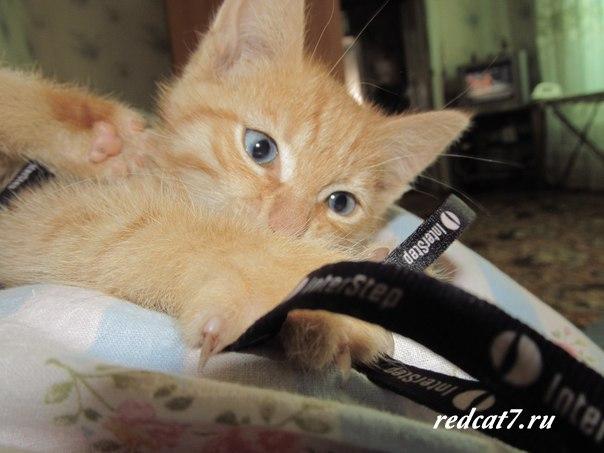 рыжий котенок играется