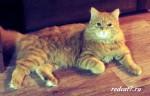 Мифы о кошках.