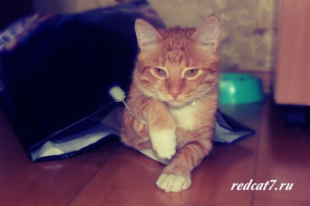 рыжий кот милый