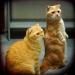 Почему коты кричат под окном?