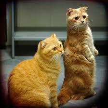 кошки рыжие