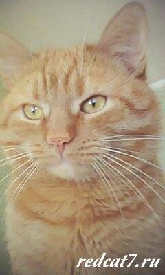 кот рыжий красивый милый