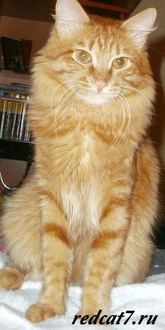 кот рыжий милый красивый смотрит,