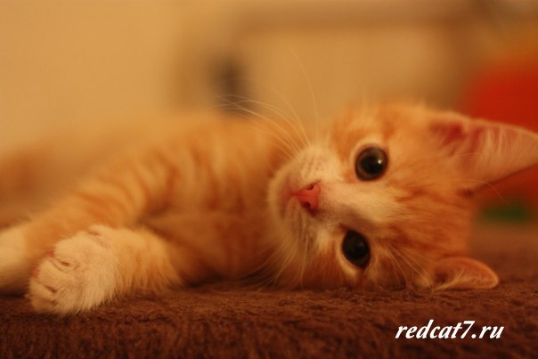 котенок-рыжий-лапочка-милый