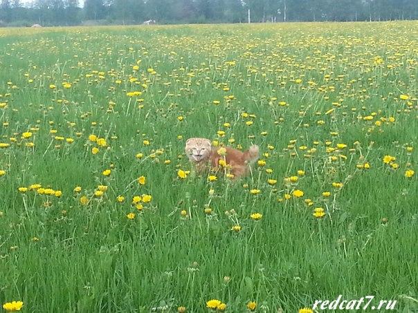 рыжий кот гуляет на лужайке среди цветов