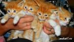 Рыжие красавцы коты.