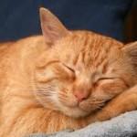 котик рыжий родной