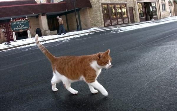 рыжий кот идет через дорогу