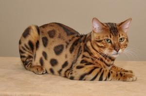 Породы кошек. Бенгальская