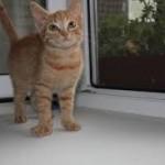 рыжий кот, рыжая кошка, рыжий котенок /