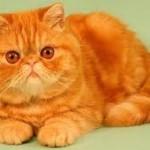 Экзотическая кошка.
