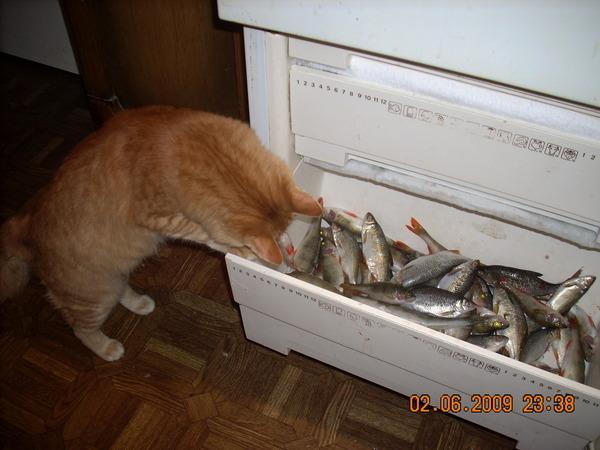 кот-рыжий-рыбу-кушает-забавный
