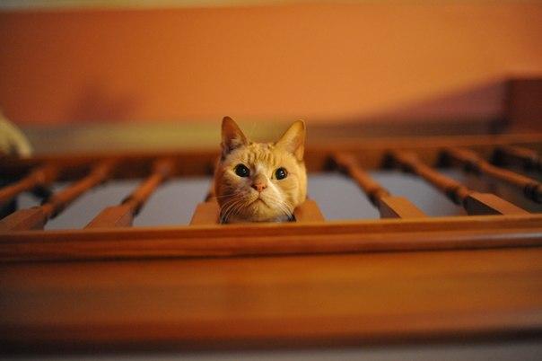 голова-кота рыжего