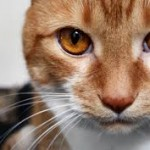 рыжие-глаза-у-кота