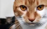 Рыжие глаза у кота, что означает?