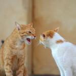 рыжий и белый кот ругаются весна