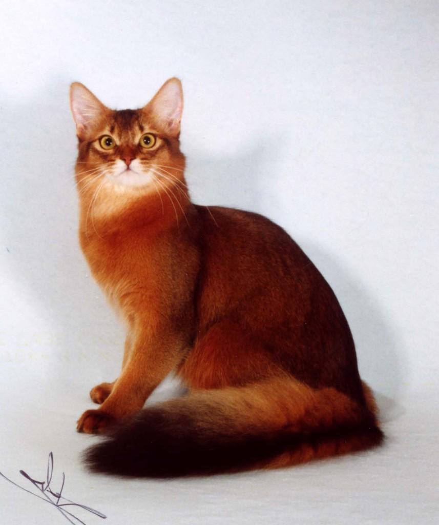 Кошки породы сомали.