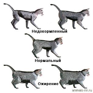 Таблица оценки кондиций тела кошки