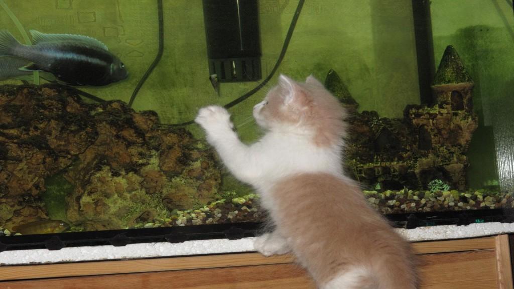 сонник рыжий котенок, рыжий котенок у аквариума играется с рыбой, фотография смешного котенка рыжего