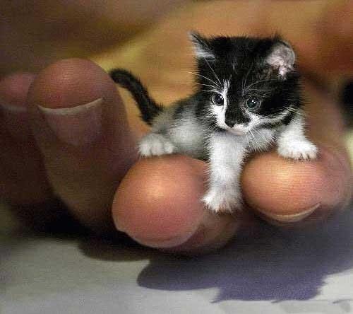Самый маленький кот в мире.