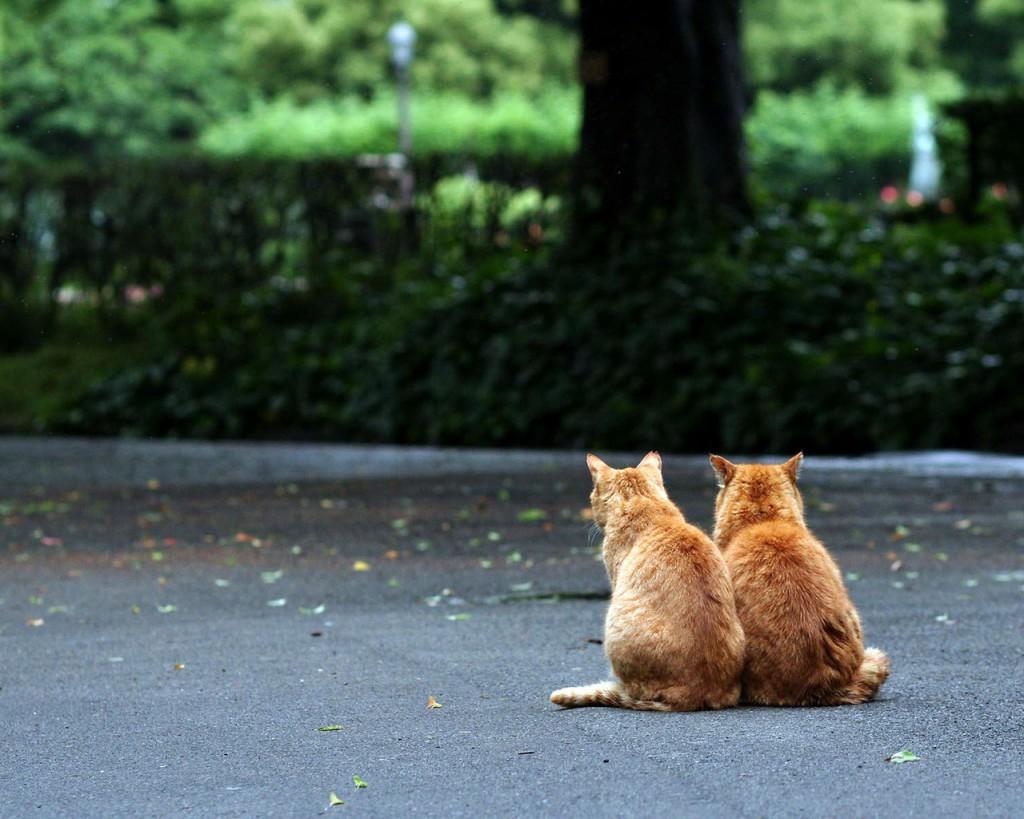 фотографии рыжих котов, два рыжих кота