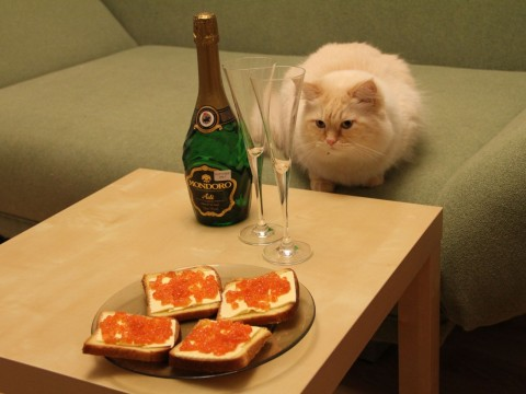 фотографии рыжих котов, рыжий кот пушистый красивый смотрит на бутерброды с икрой