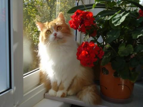 бело-рыжий кот кошка сидит у окна рядом с цветками красивыми