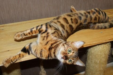 Бенгальская кошка питомника Грандмур.