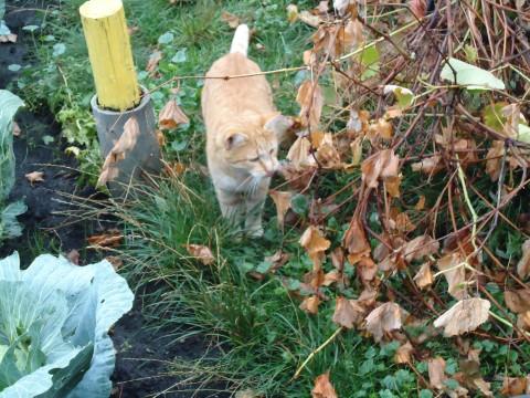 рыжий кот красивый загадочный загадочные кошки