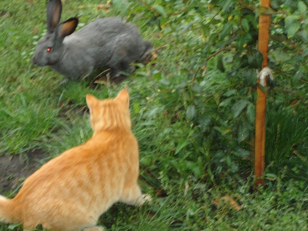 рыжий кот и кролик играют весело