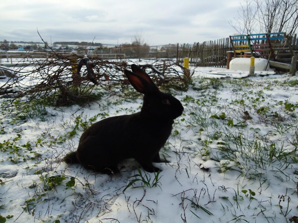 черный кролик красивый, загадочные кошки