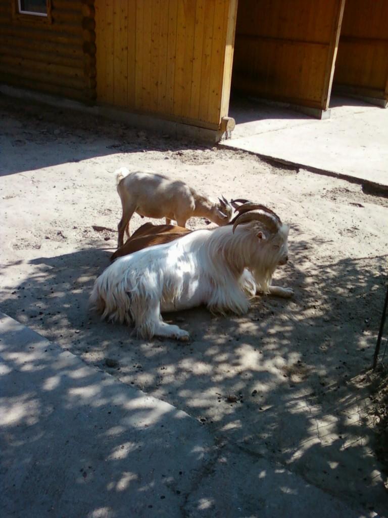 коза фотографии животных +из зоопарка