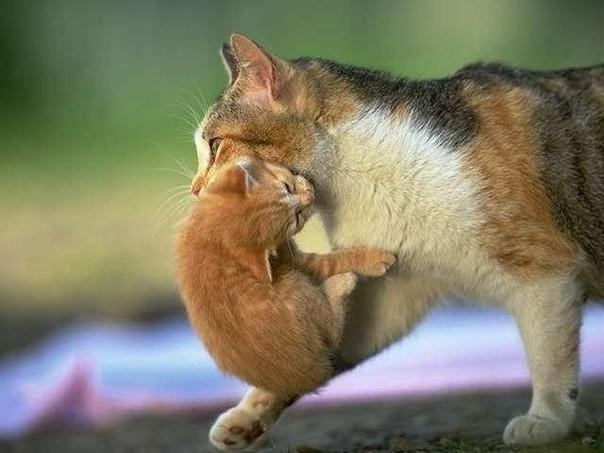 кошка несет рыжего котенка