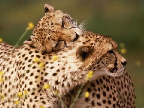 гепард красивый