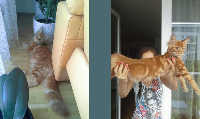 очаровашка рыжий котенок породы мей - кун