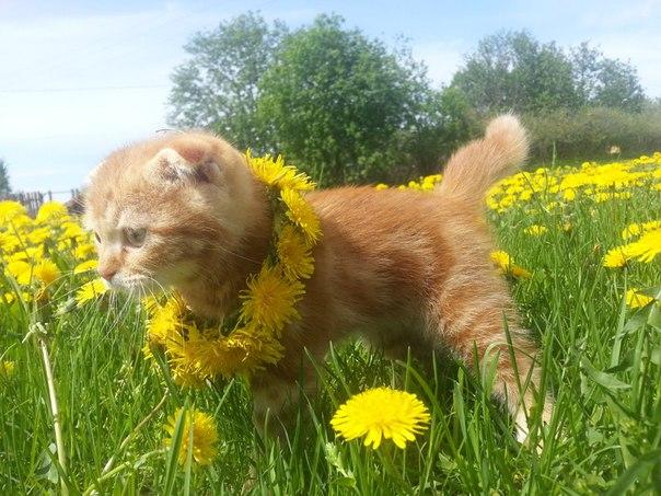 рыжий котенок фотография в одуванчиках