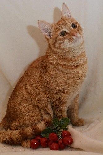 рыжий кот фотография красивый