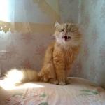 Почему трясет кошку? фотография рыжей кошки