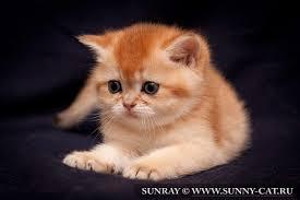 Как определить пол британского котенка?