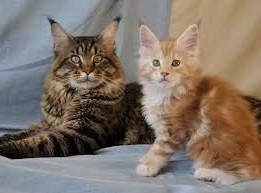 мей-кун котята
