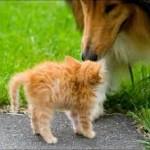 Как отважный рыжий котик отучил собаку бегать за котами!